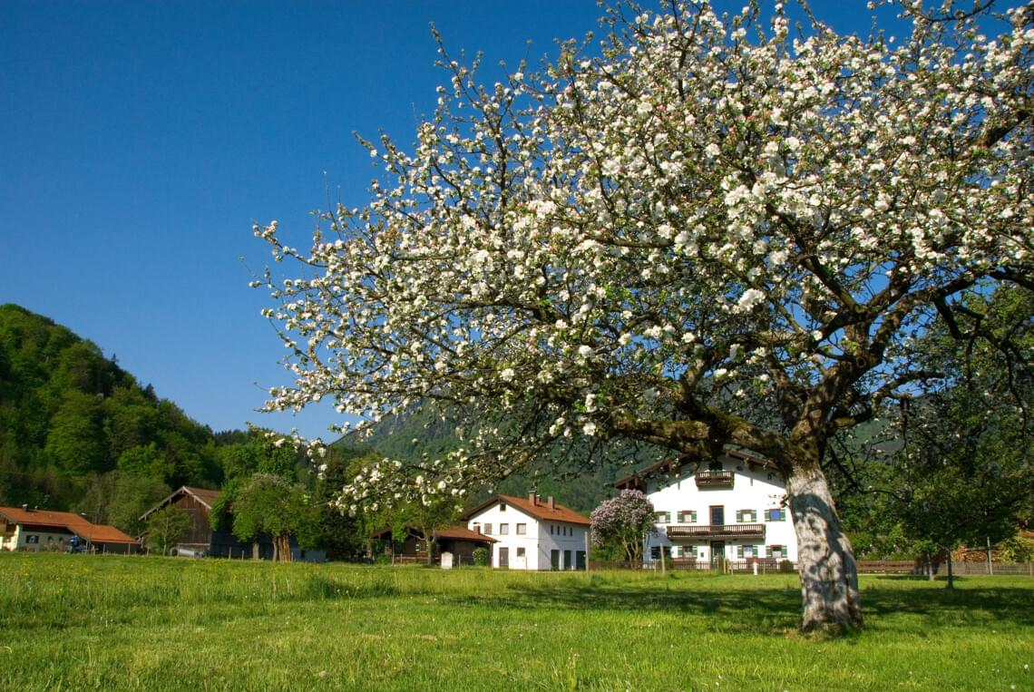 Obstbaumblüte in Marquartstein